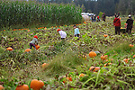 Children picking pumpkins at a farm pumpkin patch in British Columbia, Canada, autumn harvest