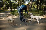 Bull terrier and Yellow Lab dogs scratched under the chin by a woman dog walker in Central Park, NYC