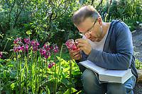 France, Hautes-Alpes (05), Villar-d'Arène, jardin alpin du Lautaret, Roland Touzet botaniste de longue date sur le jardin et professeur de botanique à l'Université de Grenoble Alpes ici avec avec un primevère originaire de Chine (Primula secundiflora)