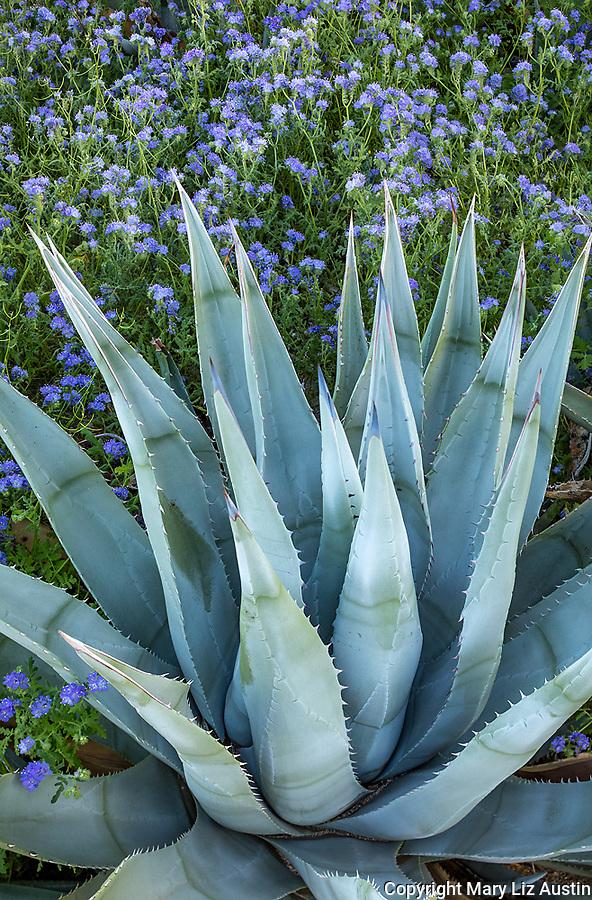 Anza-Borrego Desert State Park:  Desert agave (Agave deserti) and blue flowering phacelia (Phacelia distans)