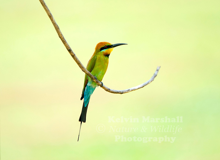 Rainbow Bee-eater (Merops ornatus) is a near passerine bird in the bee-eater family Meropidae. It is the only species of Meropidae found in Australia. Cairns - Far - North Queensland