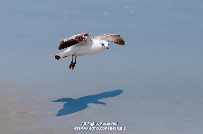 Seagul flying low over the beach