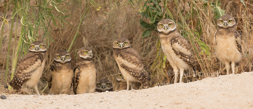 Eight juvenile Burrowing Owls wait at the entrance to their nest burrow.
