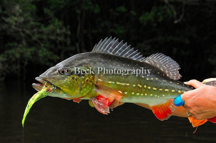 Amazon Agua Boa spotted peacock bass