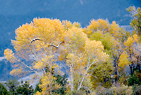 Sandhill Cranes landing with fall colors. Montana