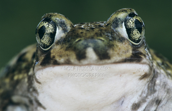 Couch's Spadefoot, Scaphiopus couchii, adult, Starr County, Rio Grande Valley, Texas, USA, May 2002