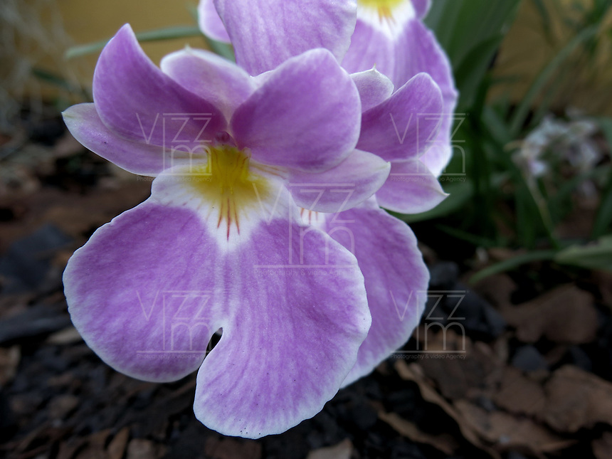 BOGOTÁ-COLOMBIA-15-01-2013. Orquídea Miltoniopsis Phalaenopsis. Orchid Miltoniopsis Phalaenopsis (Photo:VizzorImage)