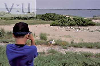 Child watching a nesting Herring Gull, USA.