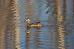 Hen wood duck swimming in a northern Wisconsin lake.