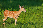White-tailed fawn walking cautiously in a northern Wisconsin field.