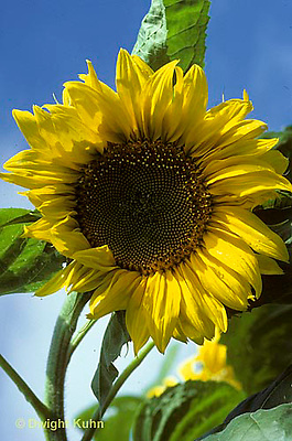 HS13-007c  Sunflower  turning towards sun - Helianthus spp.