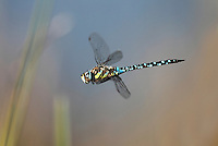 Migrant Hawker Dragonfly - Aeshna mixta - In flight. 7.9.2012