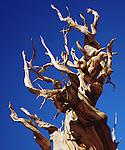 USA, California, White Mountains.   Bristlecone Pine Tree