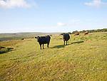 Extensive farming livestock grazing on moorland near Hexworthy, Dartmoor national park, Devon, England, UK
