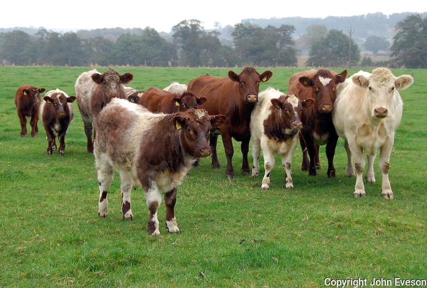 Gerald Turton, Upsall Shorthorns, Upsall Castle, Thirsk, North Yorkshire..Gerald Turton, Upsall Shorthorns, Upsall Castle, Thirsk, North Yorkshire... Upsall Shorthorns.