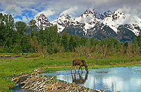 660508053 a wild moose cow alces alces forages in a beaver pond below the teton range at schwabacher landing in grand tetons national park wyoming