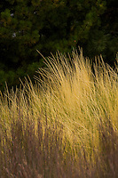 Mexican feather grass (Nassella tenuissima) ornamental grass in autumn garden