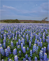 Late one evening, the moon rose over a field of bluebonnets in San Saba County in the Texas Hill Country. It was a glorious evening of wildflower enjoyment!