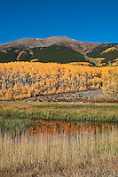 Aspen Grove near Twin Lakes, Colorado