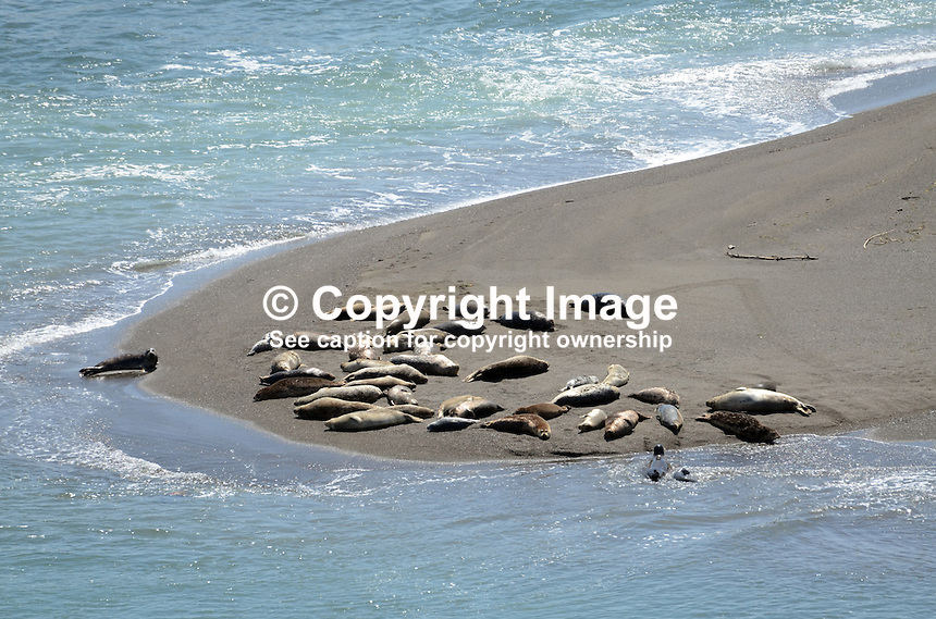 Seals and their pups basking on a sandbank near Jenner, Somoma County, California, USA, at the estuary of the Russian River where it enters the Pacific Ocean. 201304292062 <br /> <br /> Copyright Image from Victor Patterson, 54 Dorchester Park, Belfast, UK, BT9 6RJ<br /> <br /> Tel: +44 28 9066 1296<br /> Mob: +44 7802 353836<br /> Voicemail +44 20 8816 7153<br /> Skype: victorpattersonbelfast<br /> Email: victorpatterson@me.com<br /> Email: victorpatterson@ireland.com (back-up)<br /> <br /> IMPORTANT: If you wish to use this image or any other of my images please go to www.victorpatterson.com and click on the Terms & Conditions. Then contact me by email or phone with the reference number(s) of the image(s) concerned.
