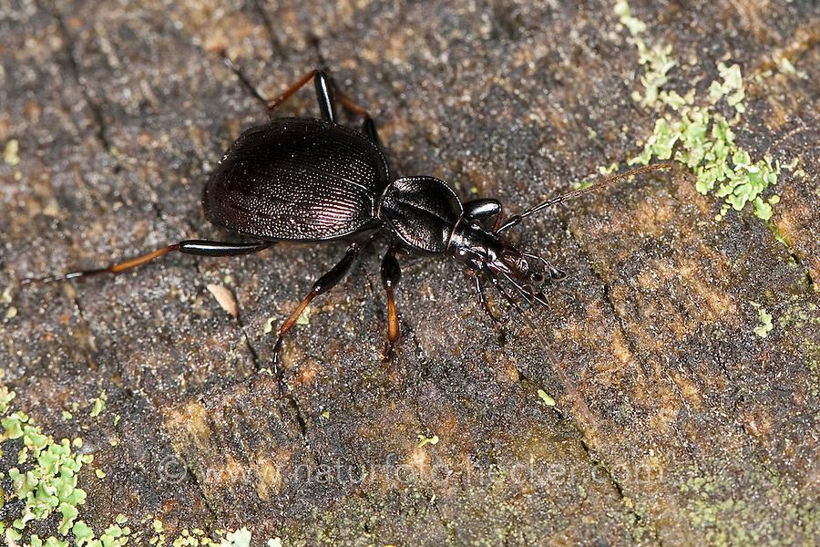 Schmaler Schaufelläufer, Berg-Schaufelläufer, Gestreifter Schaufelläufer, Laufkäfer, Schaufel-Laufkäfer, Cychrus attenuatus, ground beetle