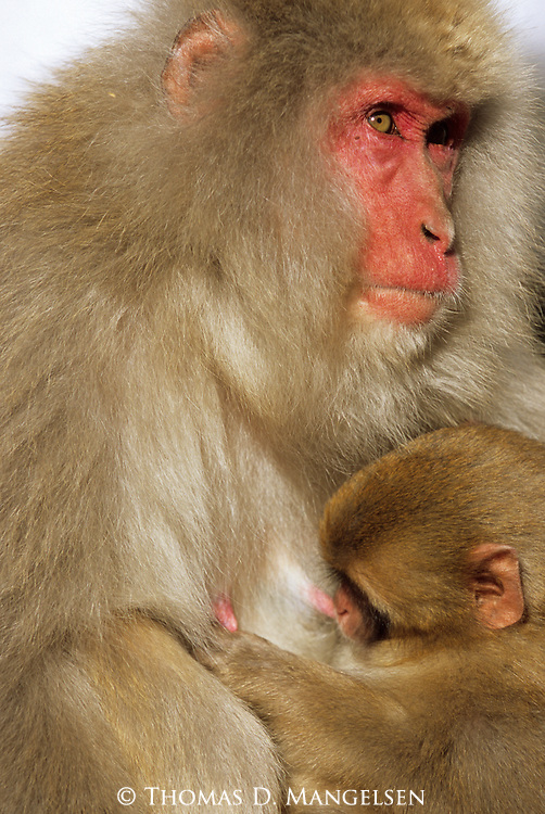 A Japanese Macaque or snow monkey nurses her baby in Jigokudani National Park, Japan.