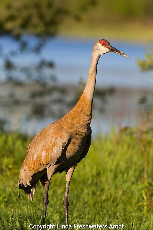 Sandhill crane with abnormal beak