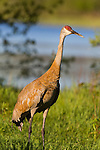 Sandhill crane with abnormal beak