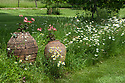 Geraniums in terracotta pots and ox-eye daisies, Vann House and Garden, Surrey, mid June.