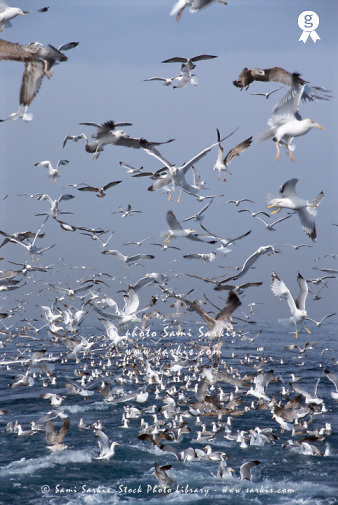 Flock of seagulls in the sea and in flight (Licence this image exclusively with Getty: http://www.gettyimages.com/detail/200337519-001 )