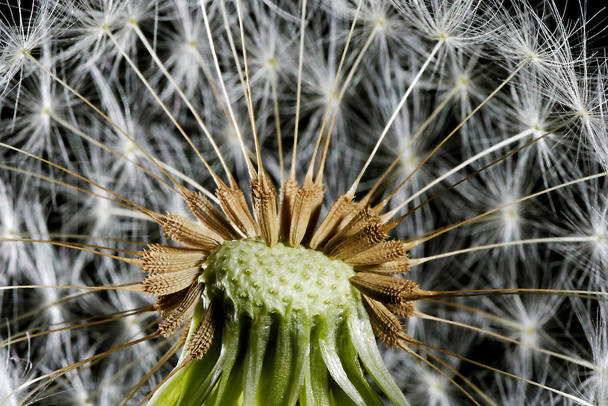 Dandylion Seeds Study