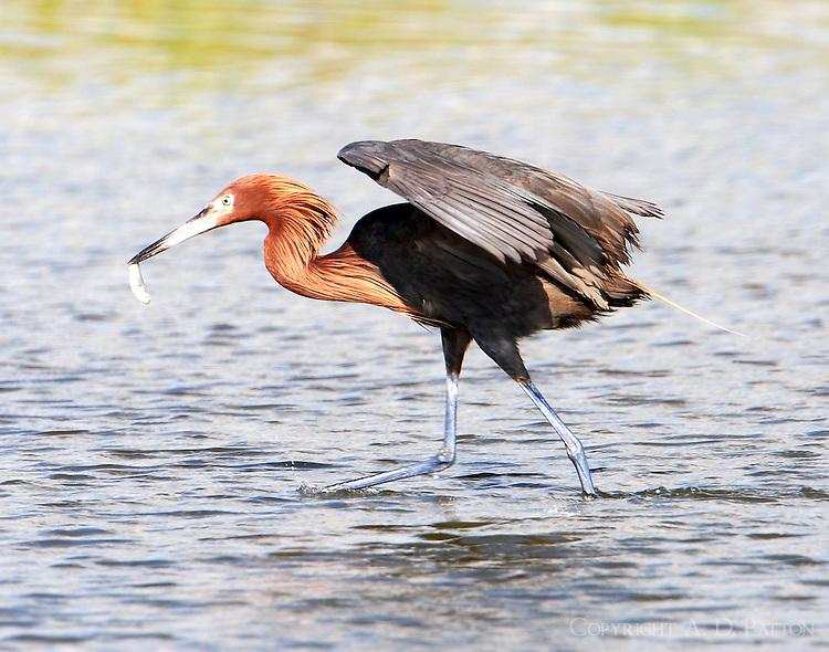 Adult reddish egret with fresh catch
