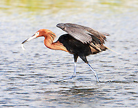 Adult reddish egret with fresh catch