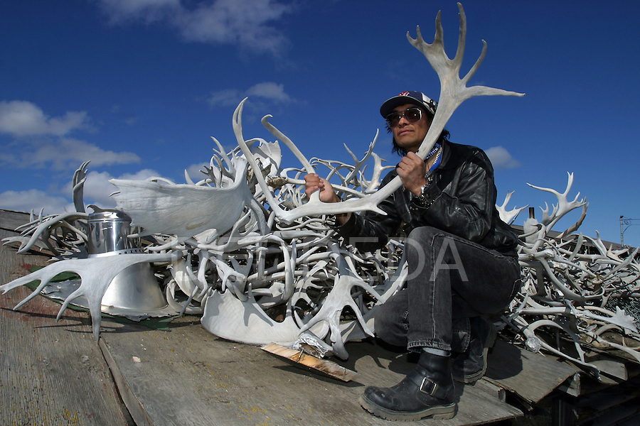Vuntut Gwitchin First Nation member, Allan Benjamin, with his collection of caribou antlers on the roof of his meat cache in Old Crow, Yukon Territory, Canada.