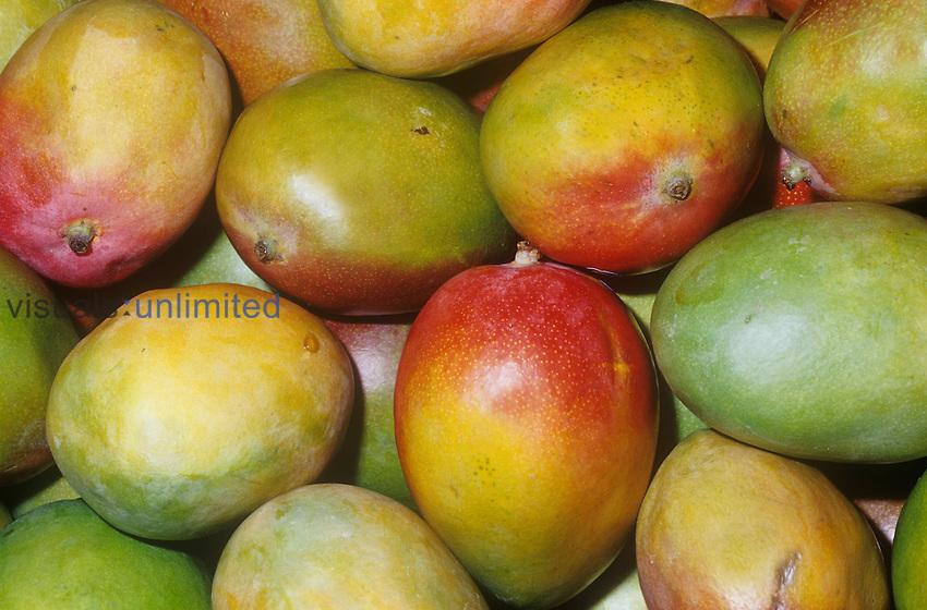 Mango variety Kent (Mangifera indica)