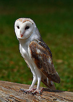 Barn Owls are moderately common, but generally hard to see, as they are mostly active at night. During the day, the birds roost on concealed tree branches. They are the most widespread and familiar of the owls. Barn Owls are medium sized birds (females slightly larger than males), with a 'heart-shaped' facial disc. They have sandy orange and light grey upperparts and white to cream underparts. Both the back and breast are evenly spotted with black. Birds often appear whiter than normal when illuminated in car headlights or torches. Young birds are similar to adults in plumage. When threatened, the Barn Owl crouches down and spreads its wings.