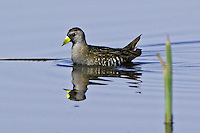Sora swimming on a marsh