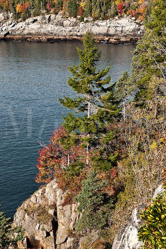 Conifer tree growing on coastal cliff, Acadia NP, Maine, ME, USA