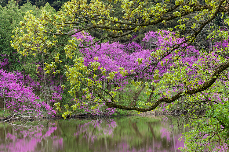 Morning light on Redbud trees in bloom and spring green in early spring on Lake Marmo at The Morton Arboretum; Lisle, IL