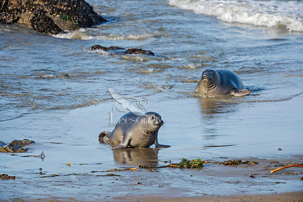 """Two Northern Elephant Seal (Mirounga angustirostris) pups (often called a """"weaners"""") coming ashore.  Central California coast.  Pups often spend the night in the ocean honing their swimming skills and then come ashore in the morning to rest/sleep during the day."""