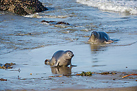 "Two Northern Elephant Seal (Mirounga angustirostris) pups (often called a ""weaners"") coming ashore.  Central California coast.  Pups often spend the night in the ocean honing their swimming skills and then come ashore in the morning to rest/sleep during the day."