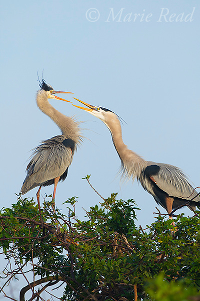 Great Bue Herons (Ardea herodias), pair interacting aggressively at a nest site, one lunges at the other, both with bills open, Venice, Florida, USA
