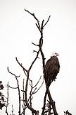 USA, Alaska, bald eagle perching on bare tree branch, Redoubt Bay (B&W)