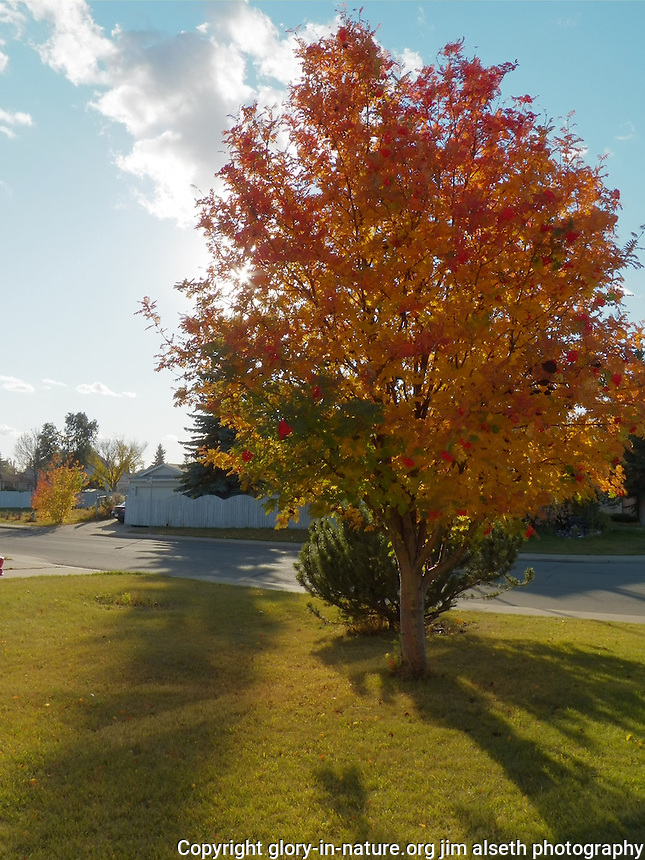 The colors of fall displayed in the mountain ash tree in our front yard.