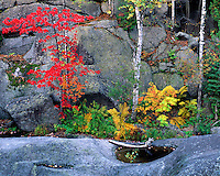 Maple tree, ferns, and pool along the North Fork of the Boquet River; Dix Mountain Wilderness; Adirondack and Preserve, NY