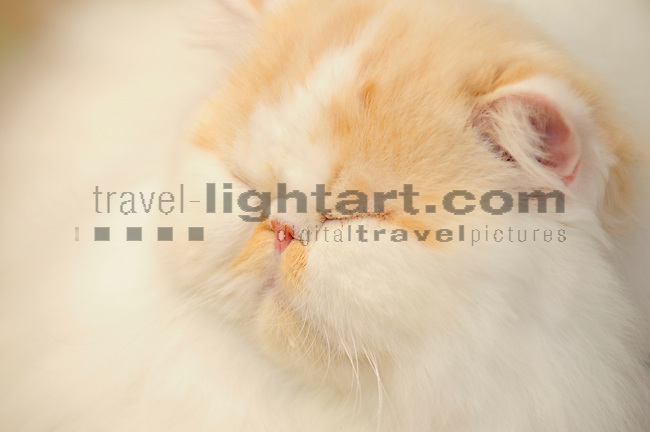 ©Paul Trummer, Mauren / FL, www.travel-lightart.com, www.digital-photos.eu, animal, animalia, animals, cat, catkins, cats, domestic cat, domestic cats, felis catus, living being, mammal, mammals, pet cat, pet cats, predator, predators, vertebrate, vertebrates, warm blooded animals, warm blooded-animal, Fauna, Felis, Fissipedia, Hauskatze, Hauskatzen, Kater, Landraubtier, Landraubtiere, Lebewesen, Mammalia, Rassekatze, Säuger, Säugetier, Säugetiere, Tierbild, Tierbilder, Vertebrata, Warmblüter, Wirbeltier, Wirbeltiere, Haustier, Haustiere, Domestic Animals, Perser, Perser Katze, Persian cat, Schlafen, sleep, sleeping