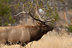 A large bull elk,  Yellowstone National Park, Wyoming, USA, October 5, 2010.  Photo by Gus Curtis