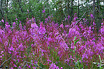 4. FIREWEED; WILD FLOWERS OF THE YUKON
