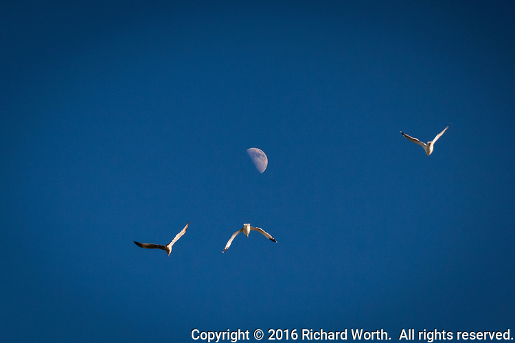 In a clear blue sky, three gulls fly by with the first quarter moon as background.