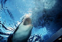 GREAT WHITE SHARK Carcharodon carcharias SOUTH AUSTRALIA